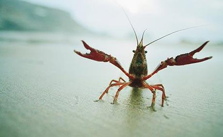 crayfish_1516006c